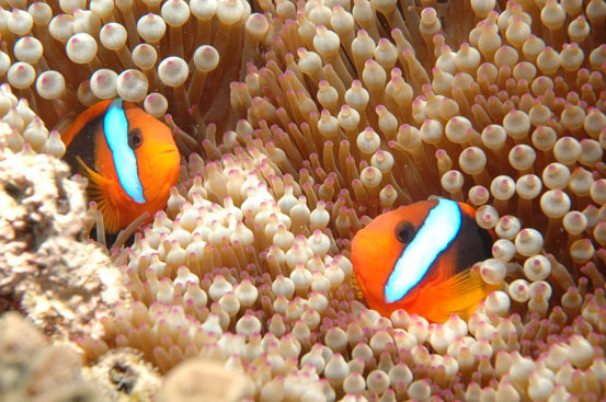 Clownfish, Great Barrier Reef, Cairns, Australia photo by In Veritas Lux