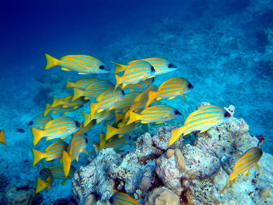 Yellow Snapper in the Maldives - james_wick