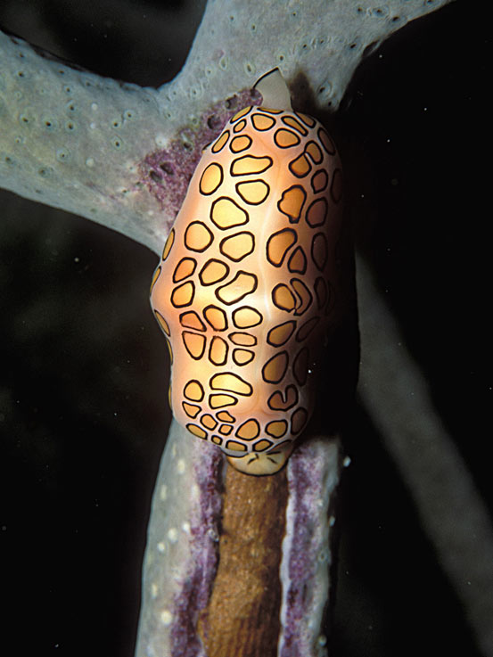 Flamingo Tongue Snail, Bonaire - laszlo-photo