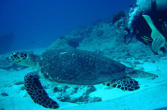 Hawksbill Turtle, Blue Corner, Palau by Ian McKinnon & Kelly Barnett