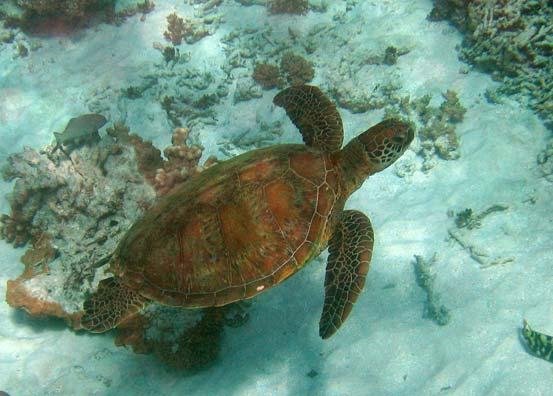 Turtle at Great Barrier Reef Australia