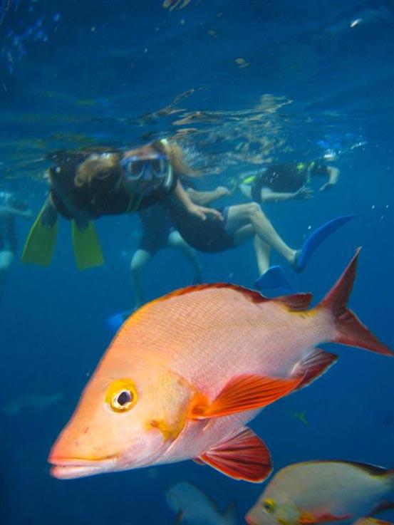 Red Snapper, Port Douglas, Great Barrier Reef, Australia
